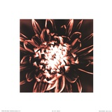 Dahlia Print by Mark Baker