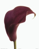 Purple Calla Lily Posters by  Art Photo Pro