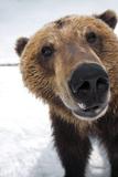 Captive Extreme Close-Up of Brown Bear at the Alaska Wildlife Conservation Center Lærredstryk på blindramme af Design Pics Inc