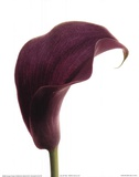 Purple Calla Lily Prints by  Art Photo Pro