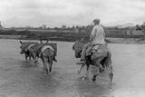 Man with Donkeys in Spain, 1934 Fotografisk tryk af  Süddeutsche Zeitung Photo