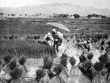Rice Farmers in China, 1928 Photographic Print by  Süddeutsche Zeitung Photo