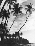 Palms on Hawaii, 1930s Photographic Print by  Süddeutsche Zeitung Photo