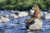 Brown Bear (Ursus Arctos) Sitting on Rock in River, Kamchatka, Russia Stretched Canvas Print by Sergey Gorshkov/Minden Pictures