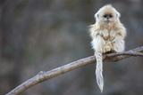 A Golden Snub-Nosed Monkey Infant Perches in a Highland Forest Lærredstryk på blindramme af Cyril Ruoso
