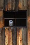 A Barn Owl, Tyto Alba, in the Window of a Barn Lærredstryk på blindramme af Robbie George