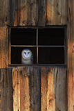 A Barn Owl, Tyto Alba, in the Window of a Barn Stretched Canvas Print by Robbie George