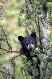 Portrait of a Black Bear Cub, Ursus Americanus, Climbing in a Pine Tree Lærredstryk på blindramme af Robbie George
