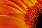 Close Up of a Orange Gerbera Daisy, Gerbera Species Stretched Canvas Print by Darlyne A. Murawski