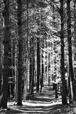 Tall Pine Trees Bordering a Forest Path Stretched Canvas Print by Amy & Al White & Petteway