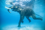 Rajan, the Infamous Asian Elephant, Swims in the Indian Ocean Trykk på strukket lerret av Jody Macdonald