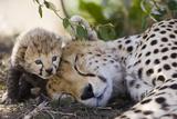 Gepard (Acinonyx Jubatus), mor og syv dager gammel unge, Maasai Mara nasjonalpark, Kenya Trykk på strukket lerret av Suzi Eszterhas/Minden Pictures
