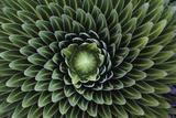 A Giant Lobelia Plant, Lobelia Telekii Lærredstryk på blindramme af George F. Mobley
