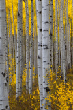 A Forest of Aspen Trees with Golden Yellow Leaves in Autumn Stretched Canvas Print by Robbie George