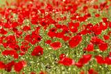 A Field of Poppies Lærredstryk på blindramme af Richard Nowitz