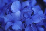 Close View of Blue Hydrangea Flowers, Cape Cod, Massachusetts Lærredstryk på blindramme af Darlyne A. Murawski