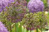 Group of Allium Inflorescences with Flowers and Buds Stretched Canvas Print by Darlyne A. Murawski