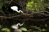 A White Egret Hunting in the Shadows in a Swamp Stretched Canvas Print by Mauricio Handler