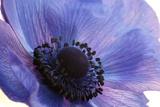 Close Up of a Blue Anemone Flower Lærredstryk på blindramme af Darlyne A. Murawski
