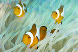 False Clown Anemonefish on an Anemone, Sabonan Island Stretched Canvas Print by Mauricio Handler