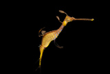 A weedy seadragon, Phyllopteryx taeniolatus, at the Dallas World Aquarium. Photographic Print by Joel Sartore
