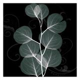 Mint Eucalyptus Plakater af Albert Koetsier
