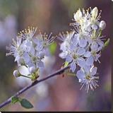 Spring Blooms Canvastaulu tekijänä Ken Bremer