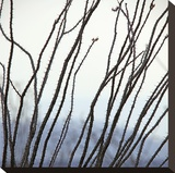Ocotillo 6 Stretched Canvas Print by Ken Bremer