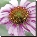 Aster Stretched Canvas Print by Ken Bremer