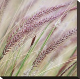 Fountain Grass 7 Stretched Canvas Print by Ken Bremer