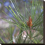 Pine Bud Stretched Canvas Print by Ken Bremer