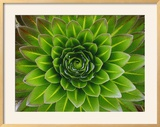 A Giant Lobelia Plant Framed Photographic Print by George F. Mobley