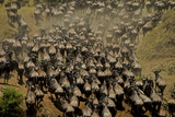 Wildebeest Charge to Get Up a Steep River Bank Photographic Print by Beverly Joubert