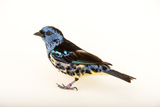 A Turquoise Tanager, Tangara Mexicana, at Tracy Aviary Photographic Print by Joel Sartore