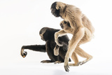 Endangered Pileated Gibbons, Including an Eight Month Old Infant Photographic Print by Joel Sartore