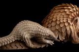 A Vulnerable Adult Female White Bellied Pangolin with Her Baby, at Pangolin Conservation Fotografisk tryk af Joel Sartore