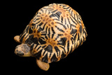 A Critically Endangered, Yearling Radiated Tortoise at the Turtle Conservancy Photographic Print by Joel Sartore