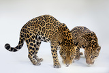 A Mother and Son Jaguar, Panthera Onca, at the Brevard Zoo Photographic Print by Joel Sartore