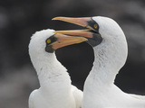 Two Adult Nazca Boobies on Espanola Island in the Galapagos Archipelago of Ecuador Photographic Print by Jeff Mauritzen