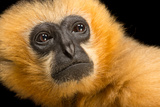 A Critically Endangered Female Northern White Cheecked Gibbon Photographic Print by Joel Sartore