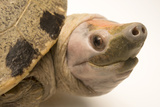 A Critically Endangered Painted Terrapin at Omaha's Henry Doorly Zoo Photographic Print by Joel Sartore