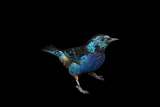 An Opal-Rumped Tanager, Tangara Velia, at the Houston Zoo Reproduction photographique par Joel Sartore