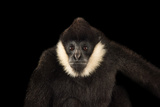 A Male, Critically Endangered Northern White Cheecked Gibbon Photographic Print by Joel Sartore