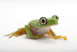 A Critically Endangered Lemur Leaf Frog at the Atlanta Botanical Garden Photographic Print by Joel Sartore