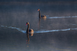 A Pair of Black Swan, Cygnus Atratus, on a Misty Lake in Brazil's Ibirapuera Park Photographic Print by Alex Saberi