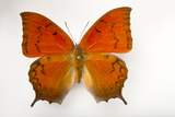 A Federally Endangered Florida Leafwing Butterfly Mounted on a Pin Photographic Print by Joel Sartore