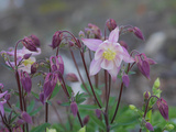 Close Up of Columbine Flowers Photographic Print by Amy & Al White & Petteway