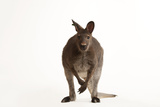 A Red-Necked Wallaby, Macropus Rufogriseus, at the Gladys Porter Zoo Photographic Print by Joel Sartore