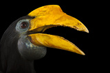 A Female Wrinkled Hornbill, Aceros Corrugatus, at the Houston Zoo Reproduction photographique par Joel Sartore