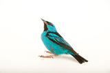 A Male Blue Dacnis, Dacnis Cayana, at Tracy Aviary Photographic Print by Joel Sartore